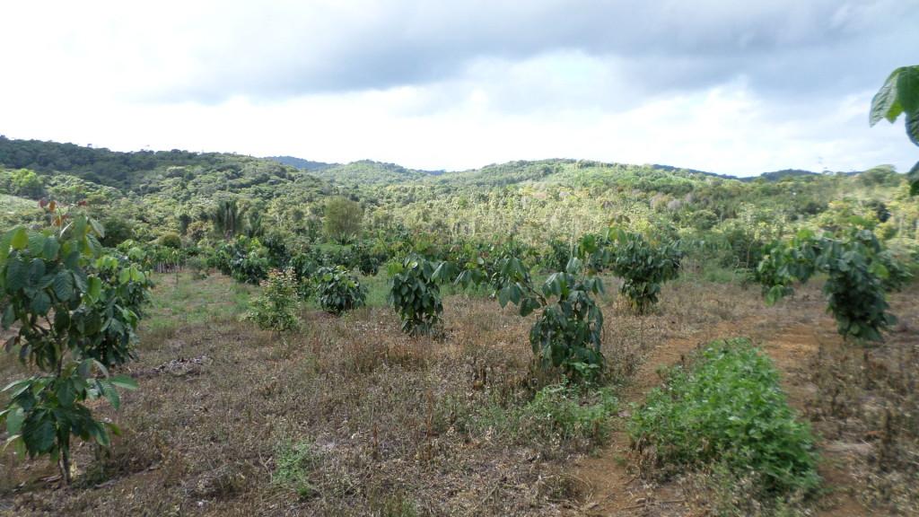 Guarana Pflanzen in Brasilien