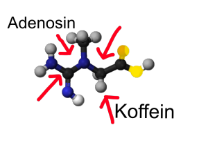Adenosin und Koffein